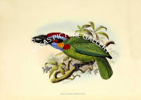 Fine art print of the MEGALAEMA VERSICOLOR by J G Keulemans (1871)